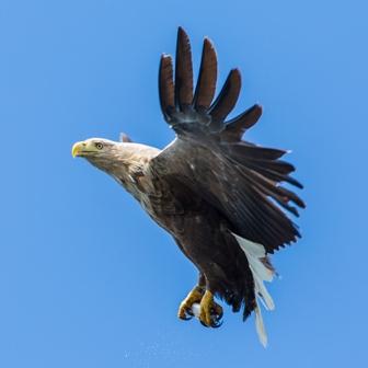 White-tailed eagle 7