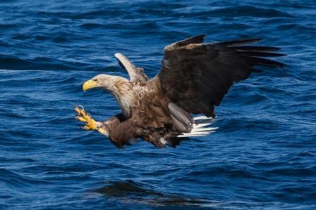 White-tailed eagle 8
